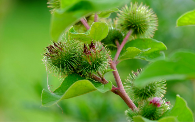 improve your hormonal health with burdock